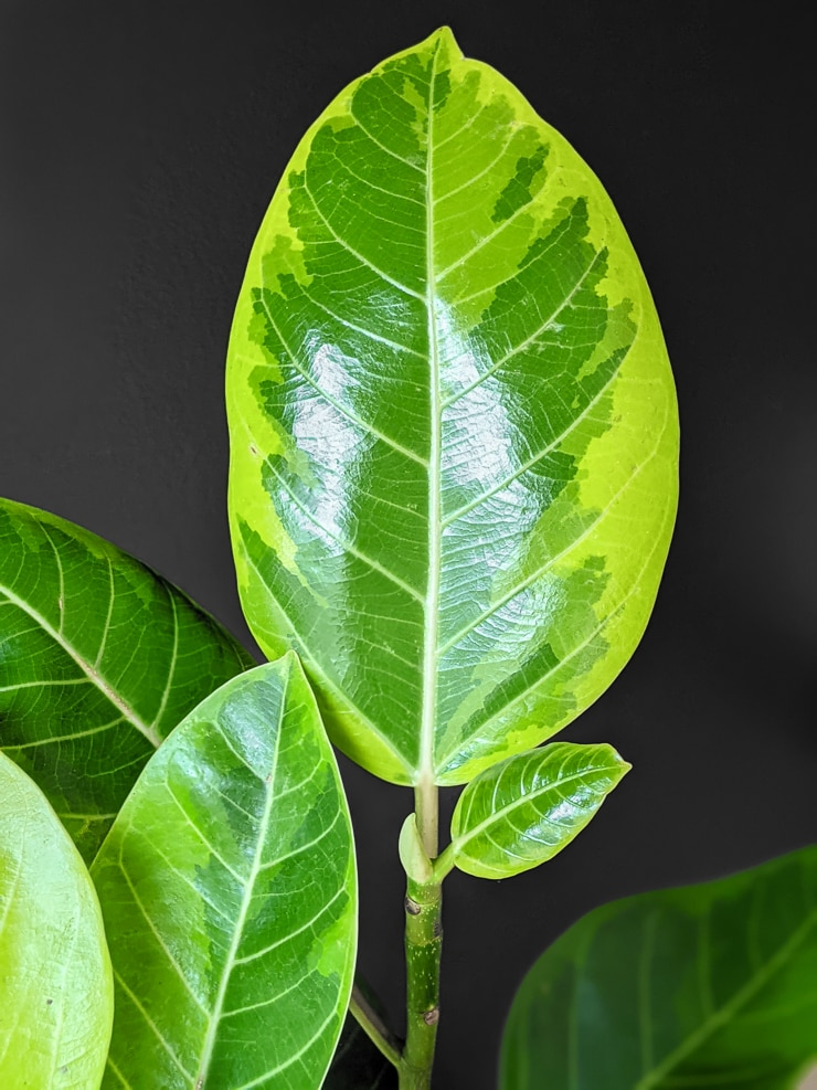 ficus altissima yellow gem leaf
