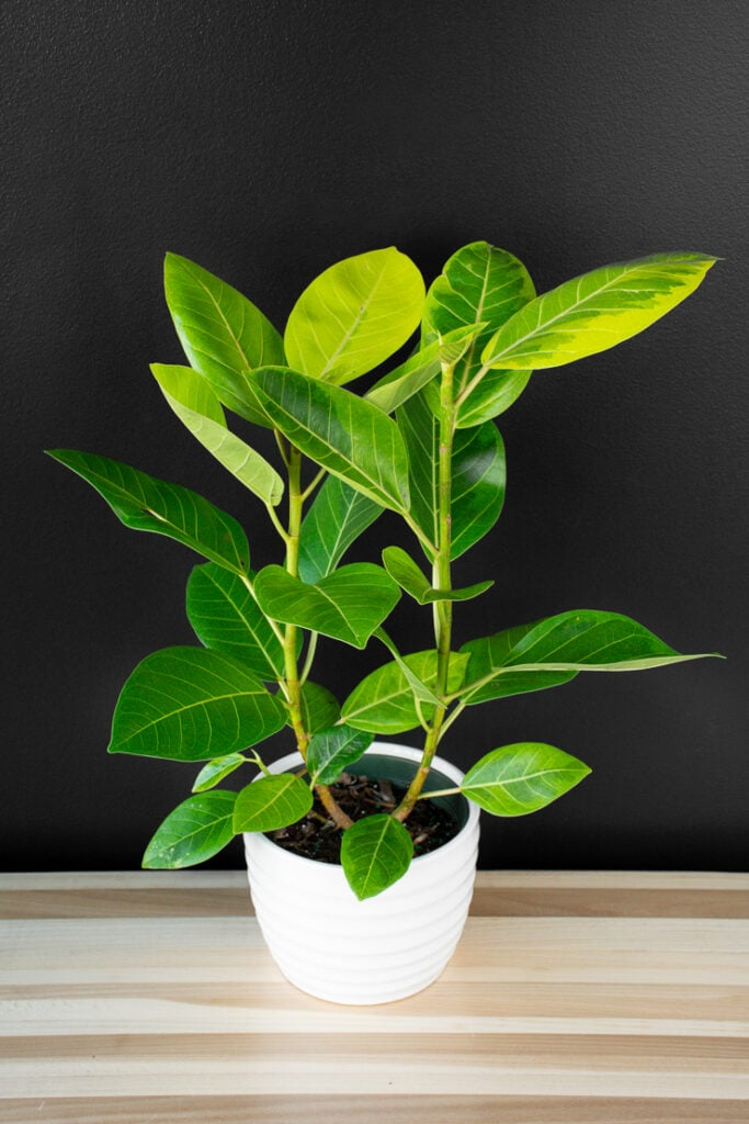 beautiful ficus altissima plant in a white pot on a table