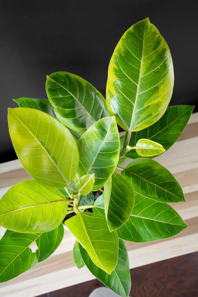 beautiful ficus altissima plant