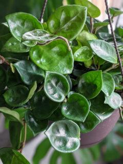 closeup of a hoya chelsea plant