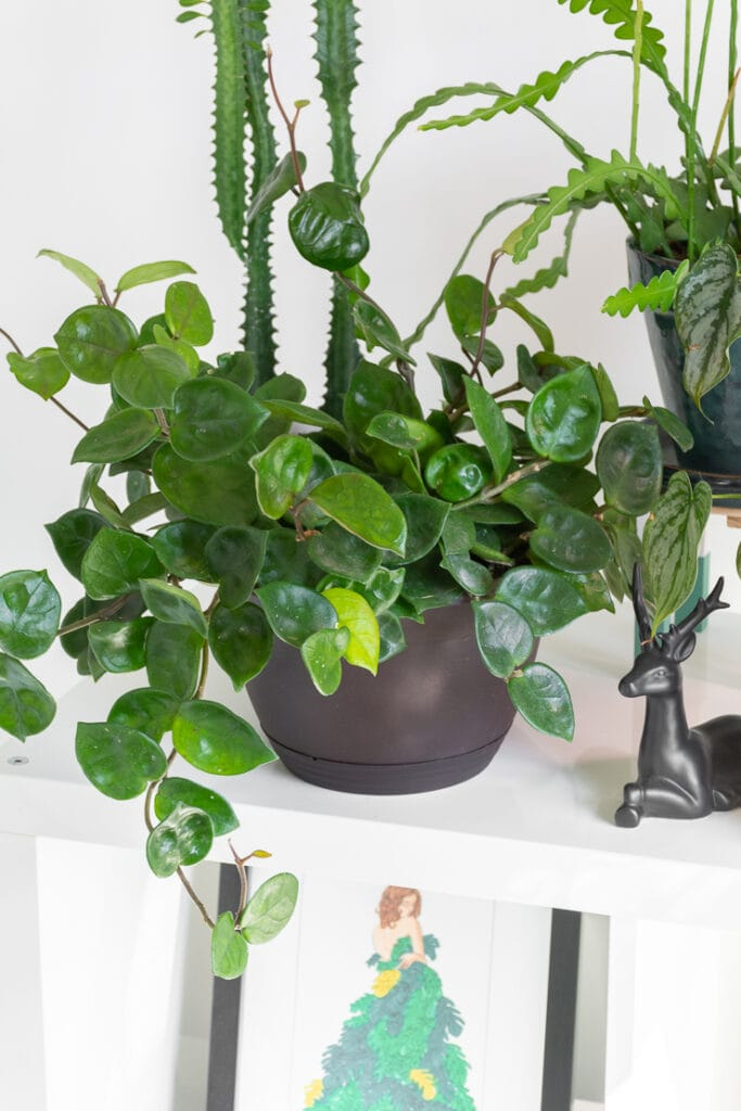 beautiful trailing hoya chelsea on a shelf with other plants