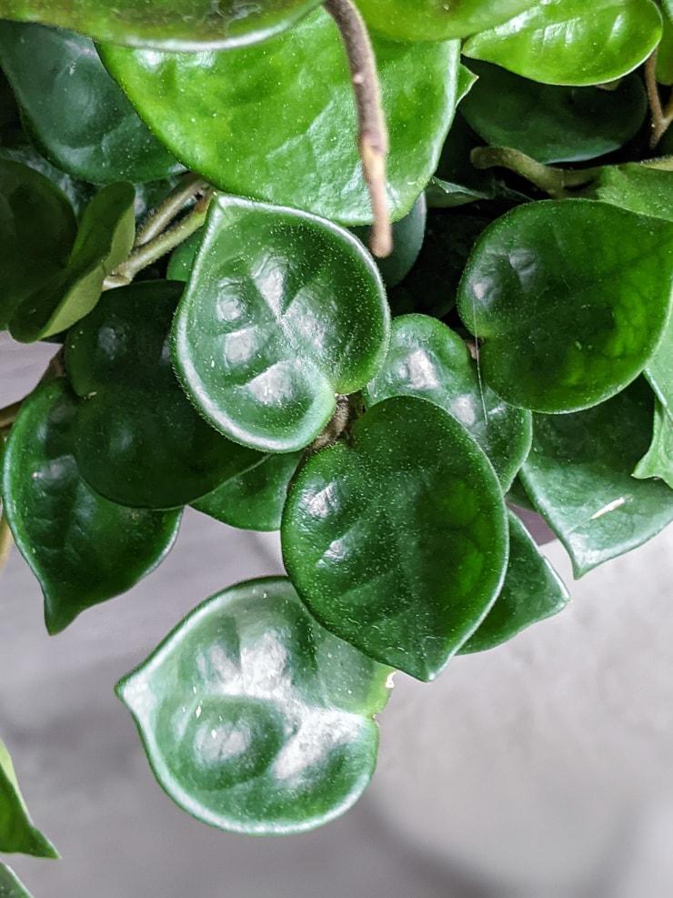 puckered hoya carnosa chelsea leaves