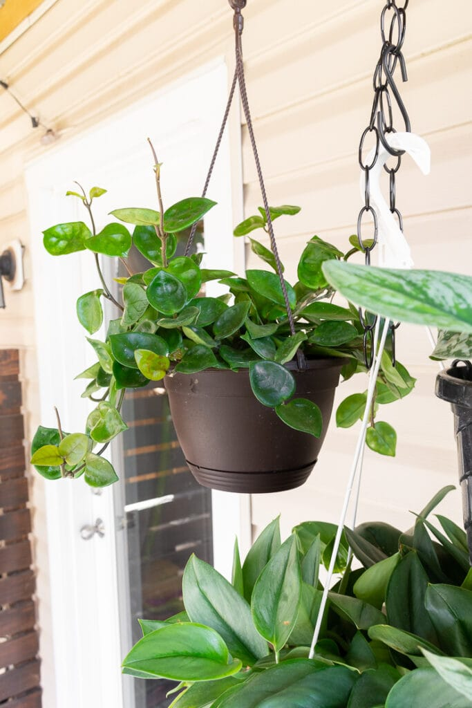 hanging hoya chelsea plant