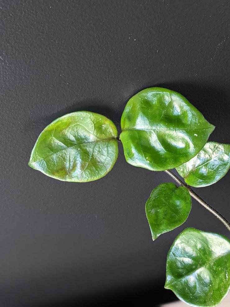 closeup of hoya carnosa chelsea leaves