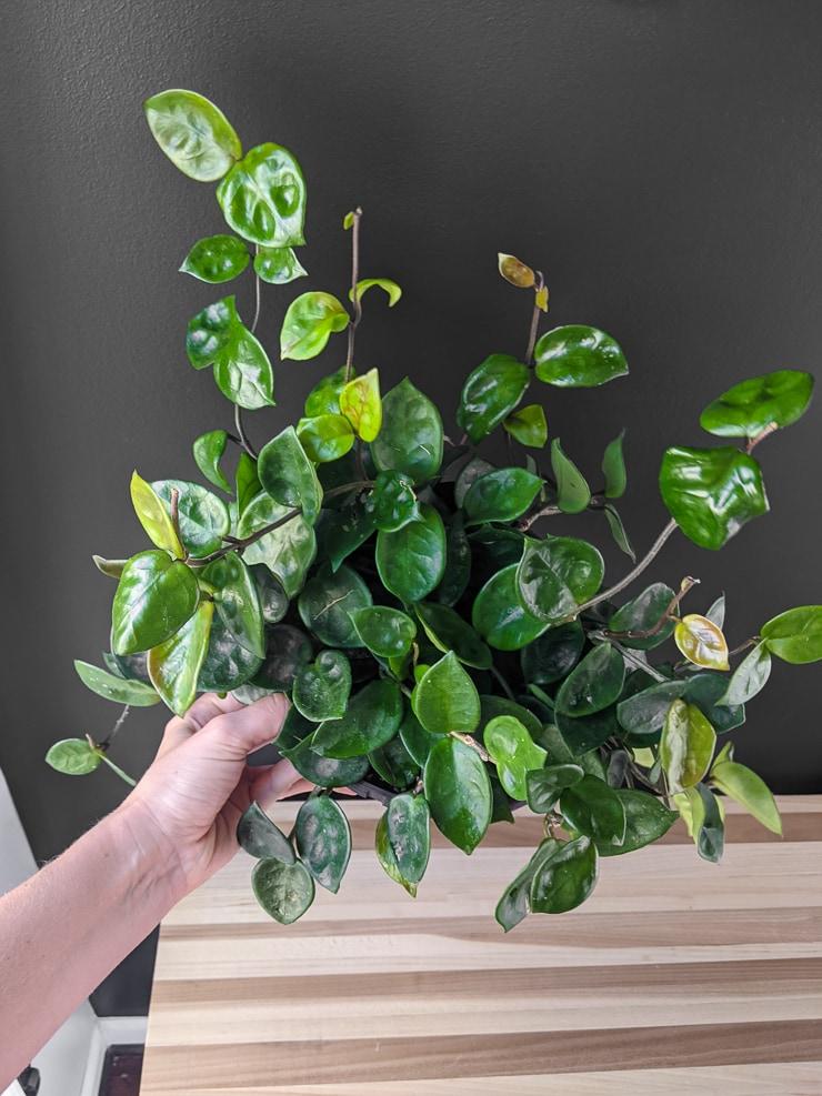 gorgeous trailing hoya carnosa chelsea plant