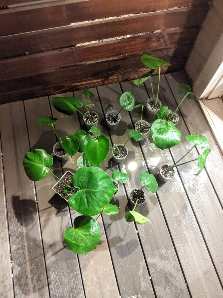 monstera deliciosa babies potted in fresh soil