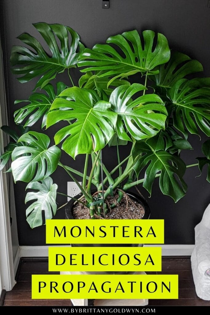 pinnable graphic about how to propagate a monstera deliciosa including an image of a plant and text overlay