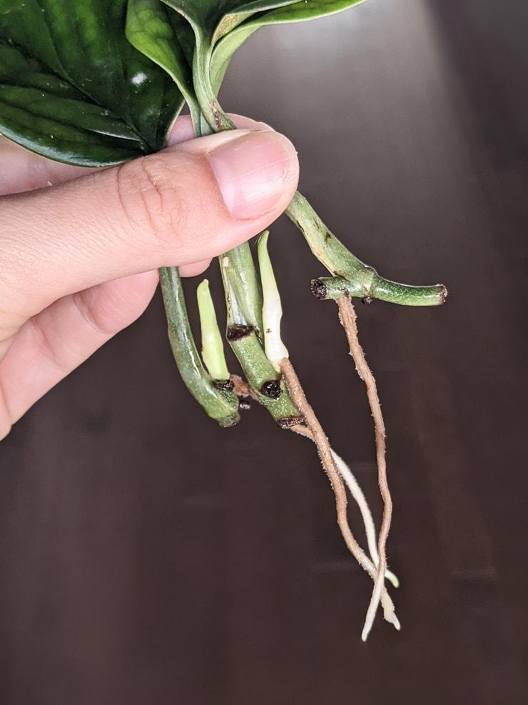 roots on monstera peru propagated cuttings