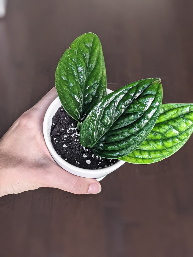 monstera peru propagated cuttings in soil