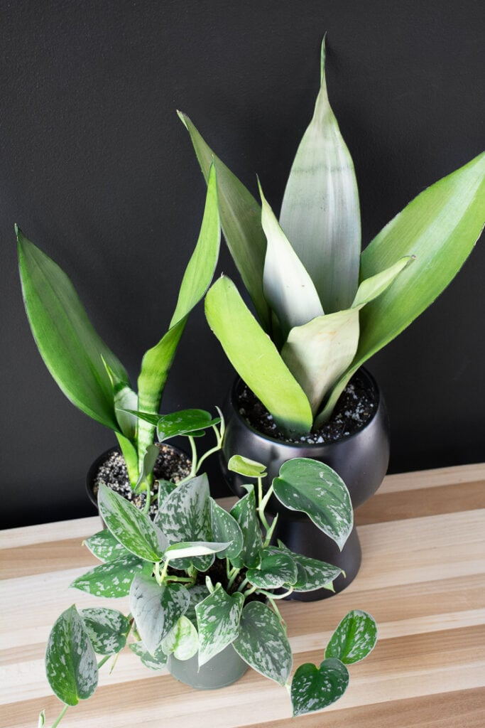 moonshine snake plants on a table with a scindapsus silvery anne