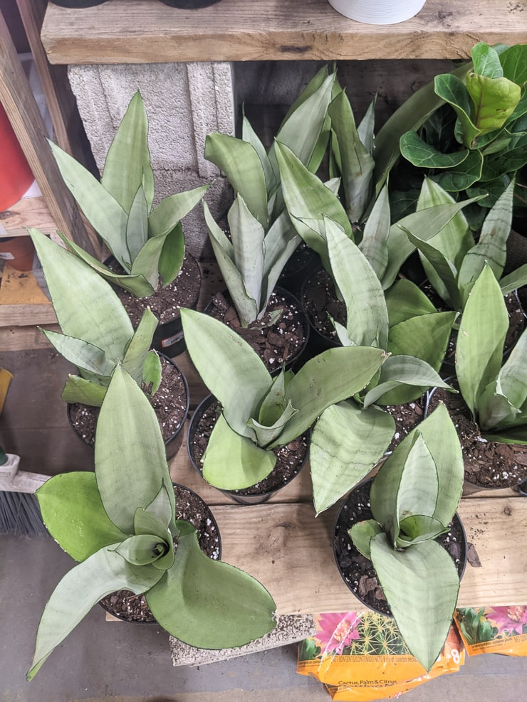 moonshine snake plants for sale on a table at Home Depot