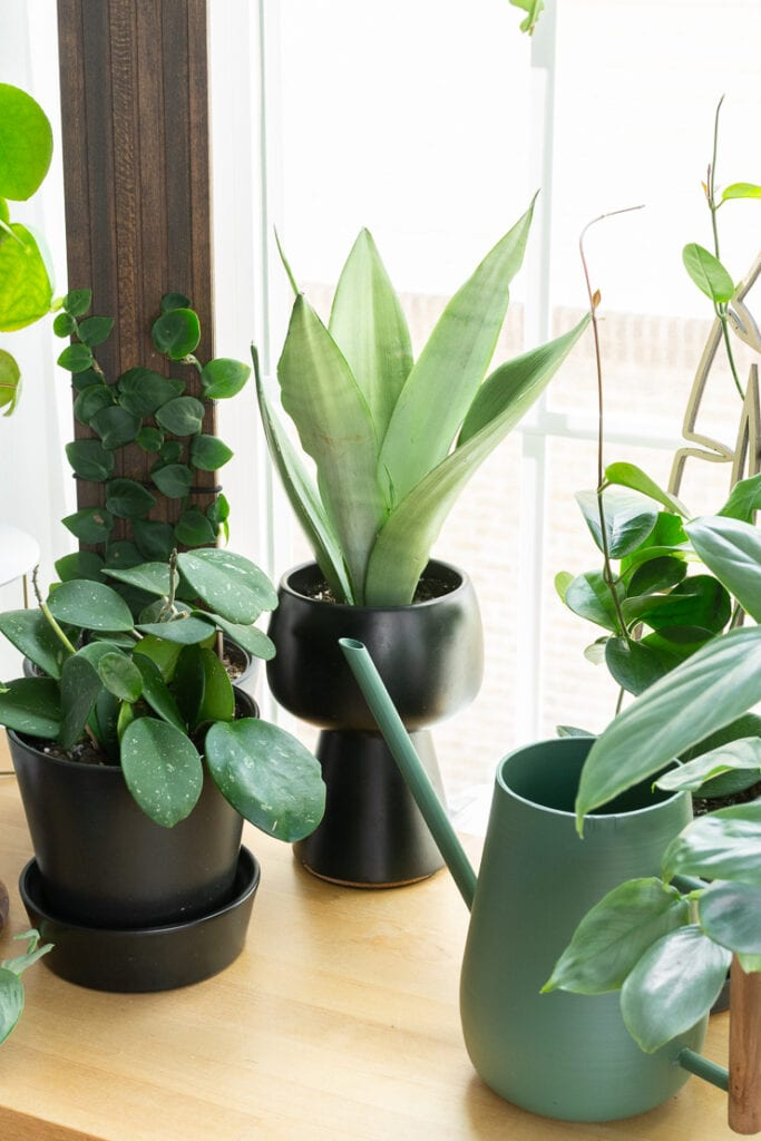 moonshine snake plant in a black modern planter on a table with other plants