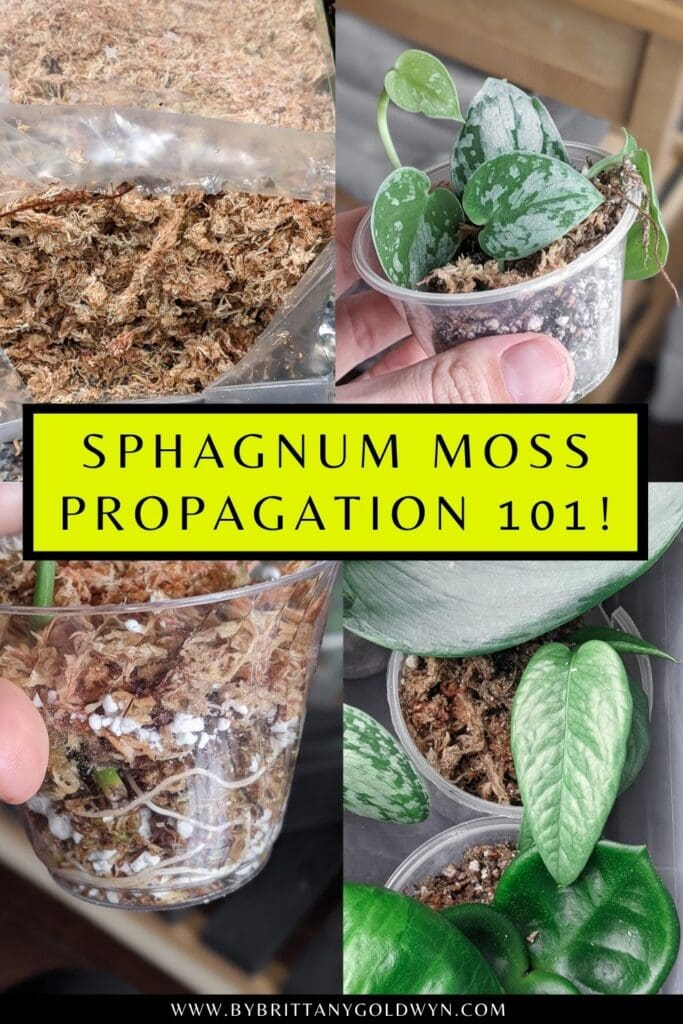 pinnable graphic about sphagnum moss propgation including images and text overlay
