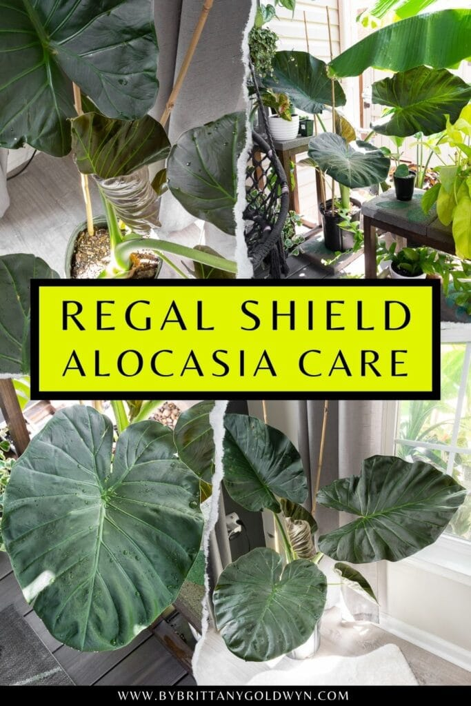 pinnable graphic about alocasia regal shield care including images and text overlay