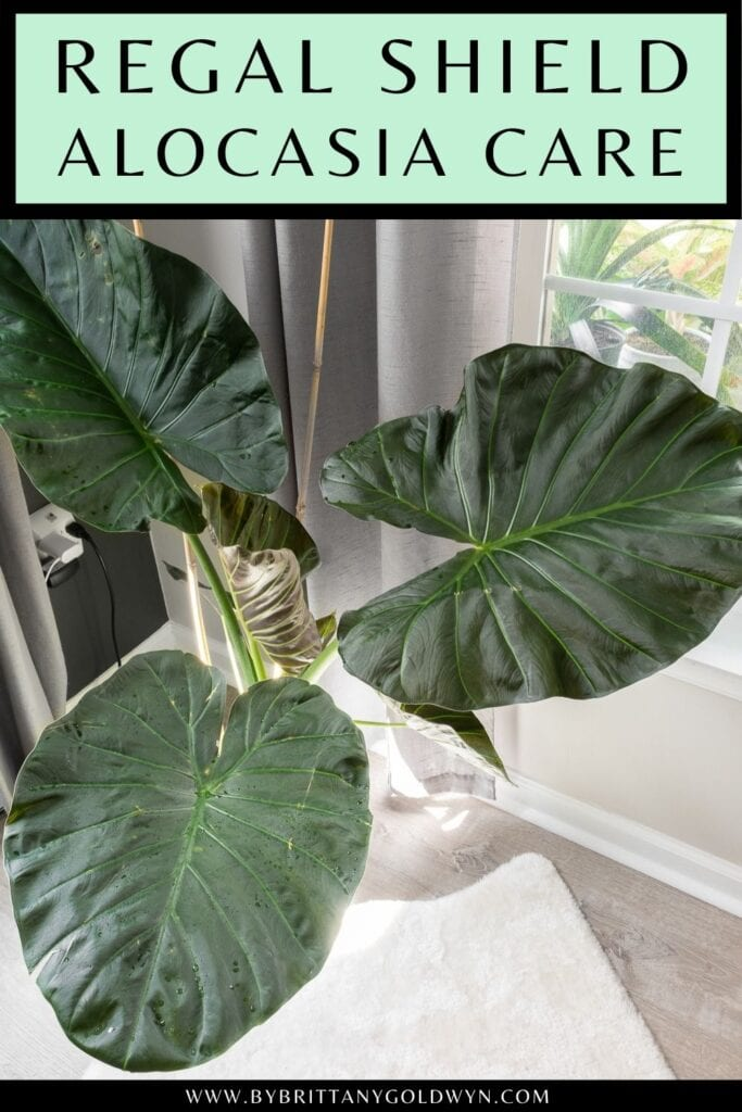 pinnable graphic about alocasia regal shield care including an image and text overlay