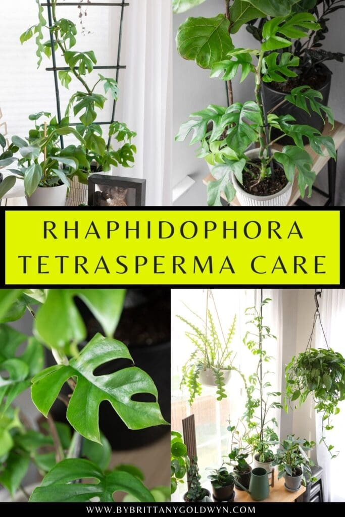 pinnable graphic about rhaphidophora tetrasperma care including images and text overlay