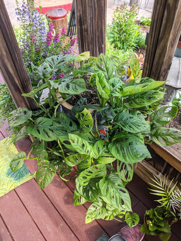 large swiss cheese monstera plant on a patio