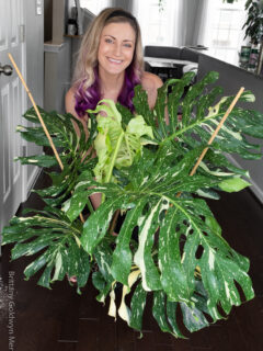 woman with a thai constellation monstera plant from Costa Farms