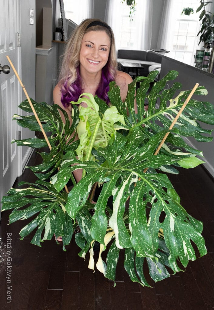 Costa Farms Thai constellation monstera plant
