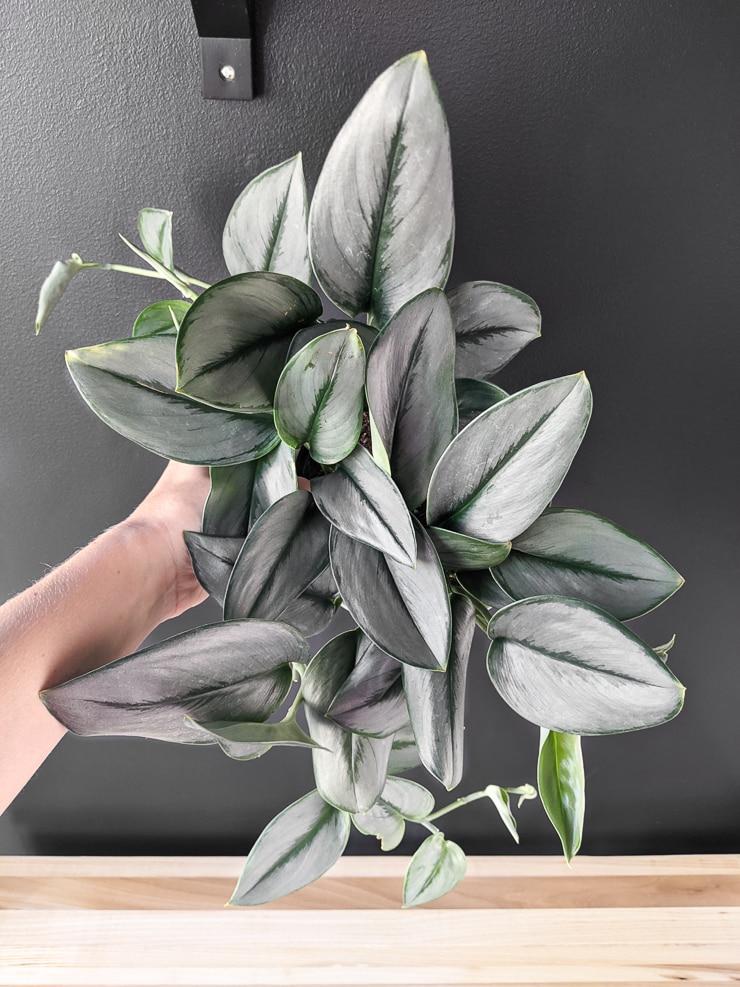 scindapsus treubii moonlight plant against a black wall