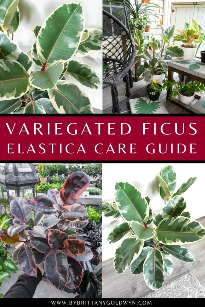 pinnable graphic about variegated ficus elastica rubber plant care including text overlay about how to care for it and images of the plant