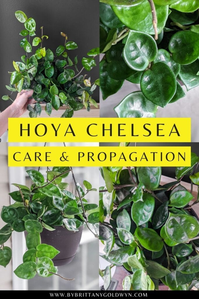 pinnable graphic about hoya chelsea care and propagation including images and text overlay