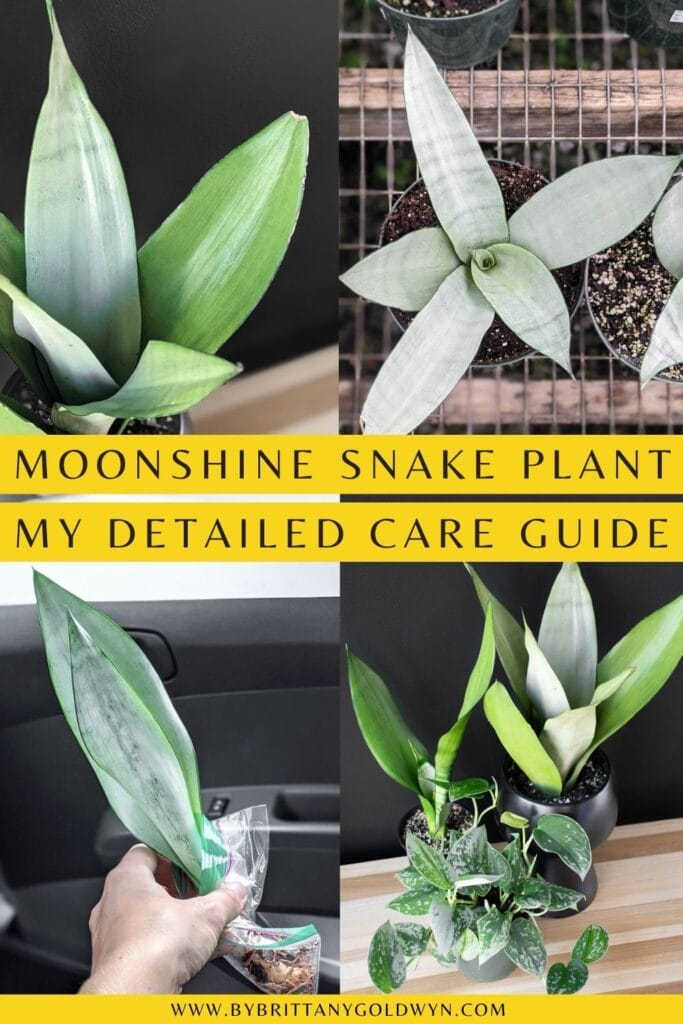 pinnable graphic with pictures of moonshine snake plants and text overlay about how to care for it