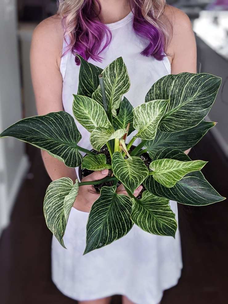 woman holding a philodendron birkin