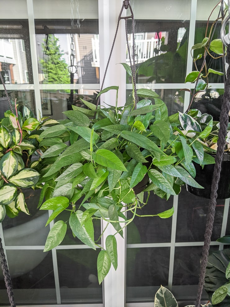 cebu blue pothos plant in a hanging planter