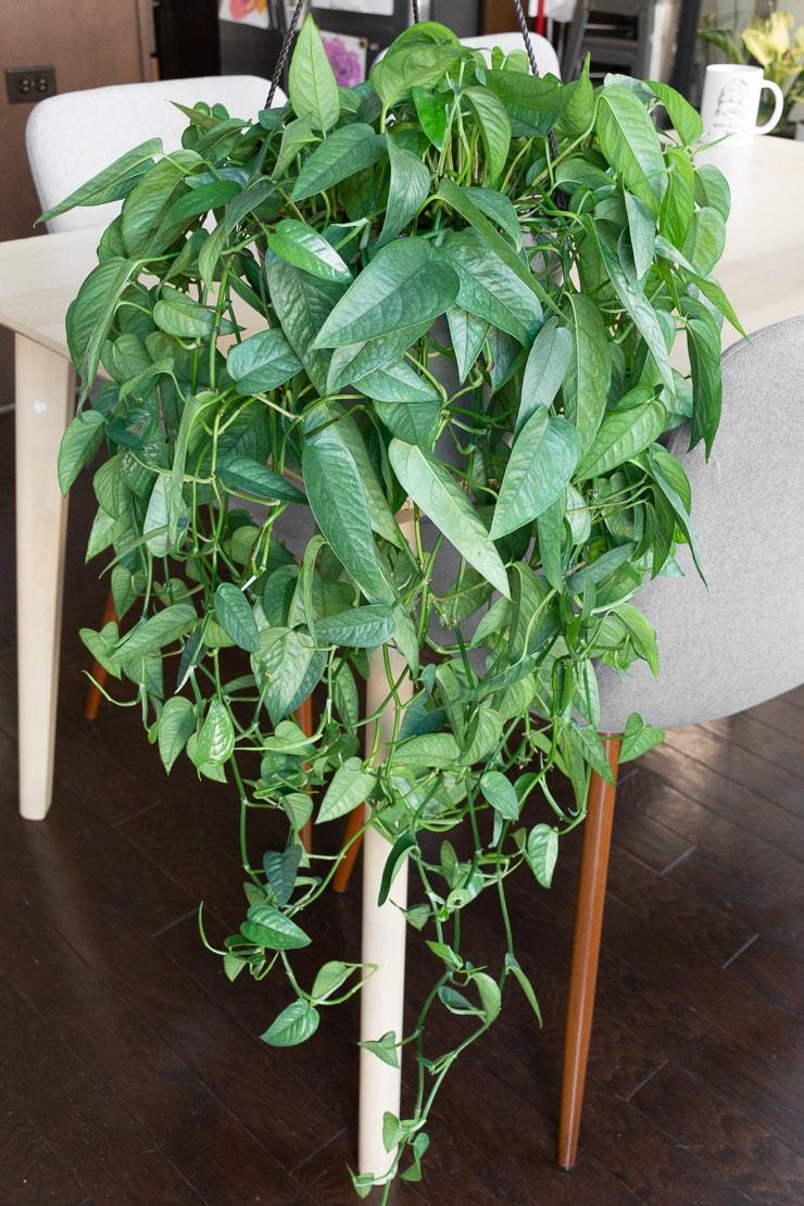 large bushy cebu blue pothos plant