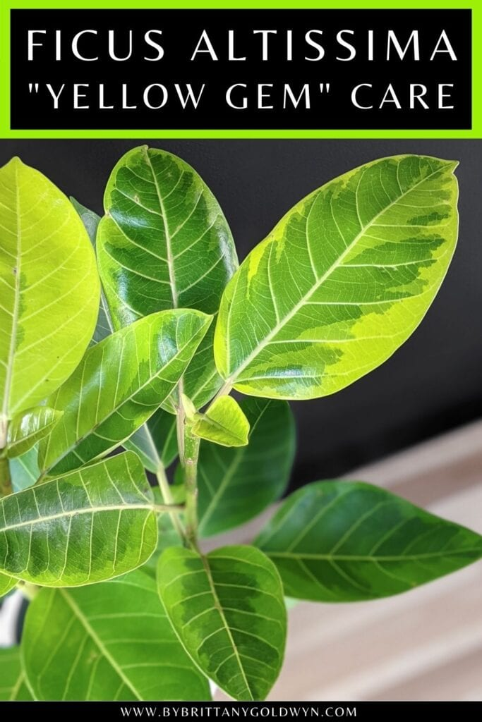 pinnable graphic about how to care for ficus altissima including image and text overlay