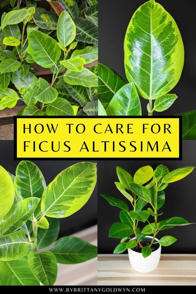 pinnable graphic about how to care for ficus altissima including images and text overlay