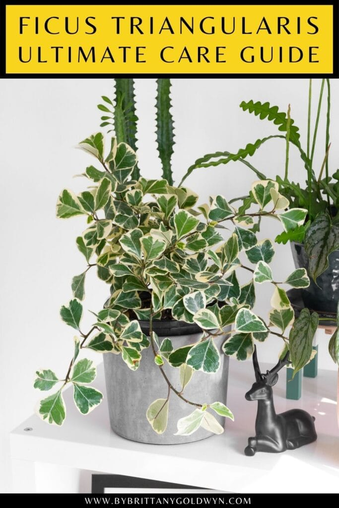 pinnable graphic about ficus triangularis variegata care including an image and text overlay