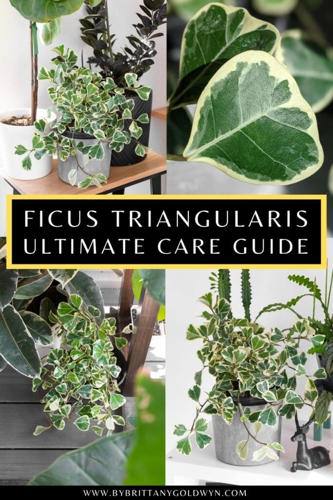 pinnable graphic about ficus triangularis variegata care including images and text overlay
