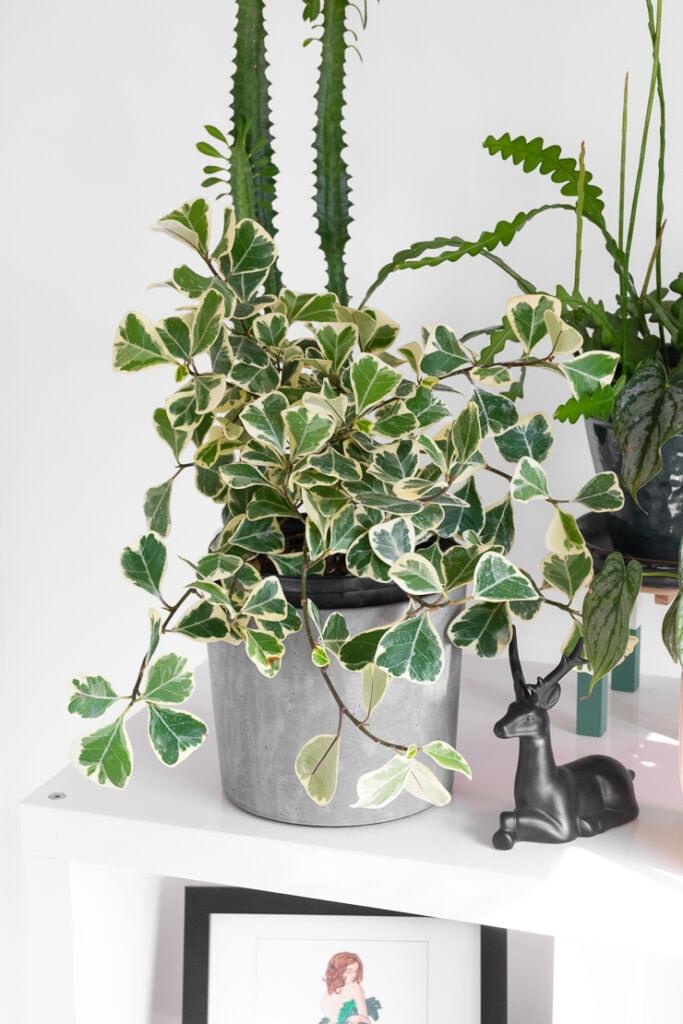 ficus triangularis variegata plant on a shelf