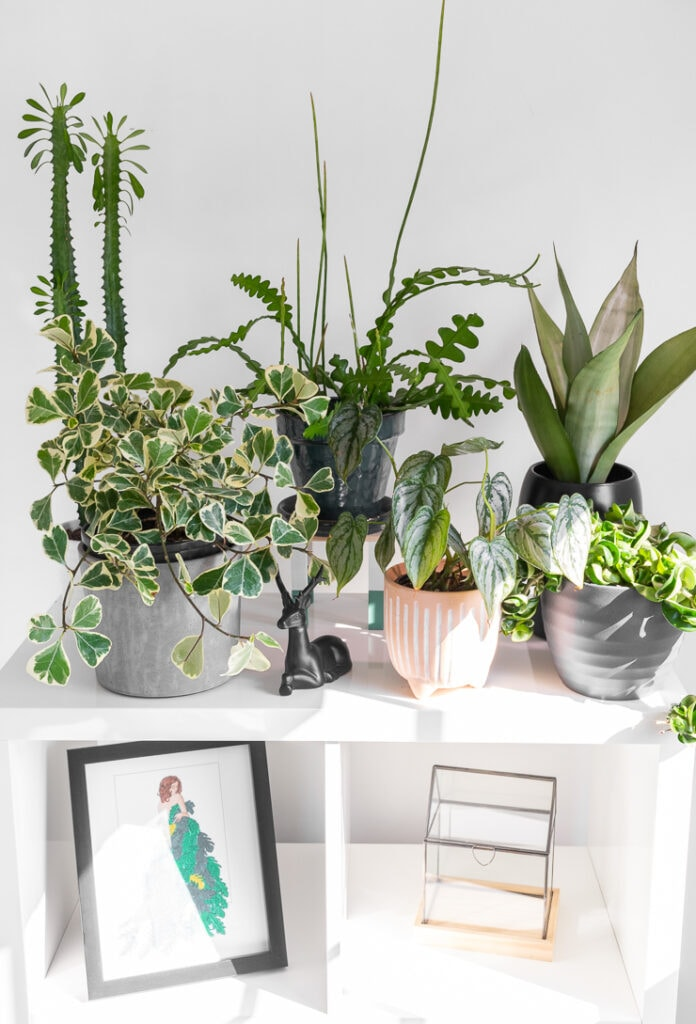 ficus triangularis variegata plant on shelves with other plants