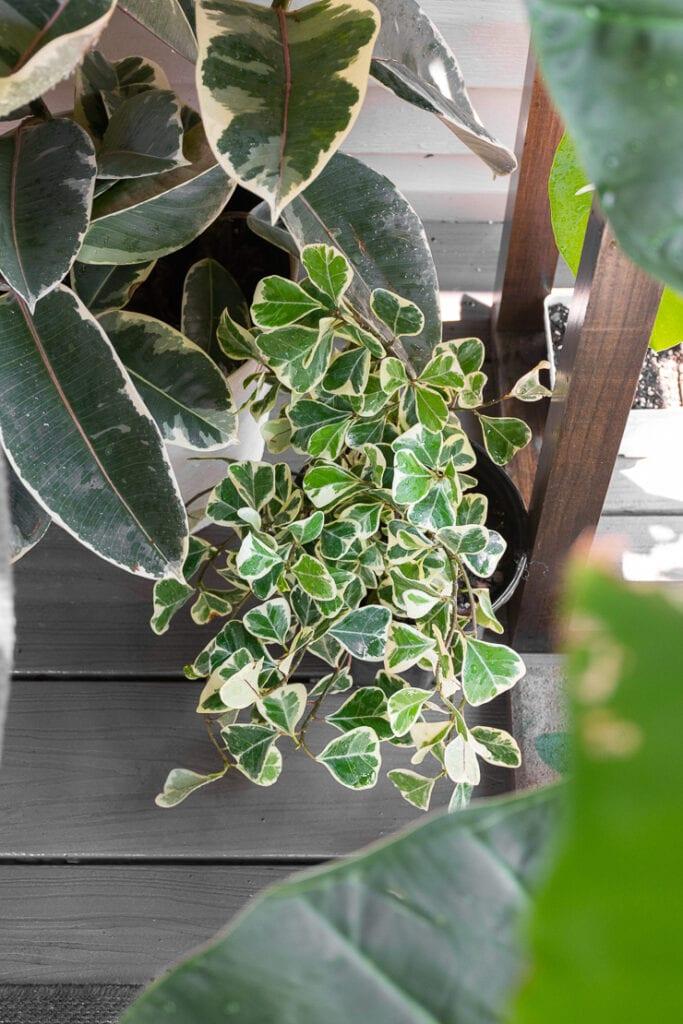 ficus triangularis variegata plant outside