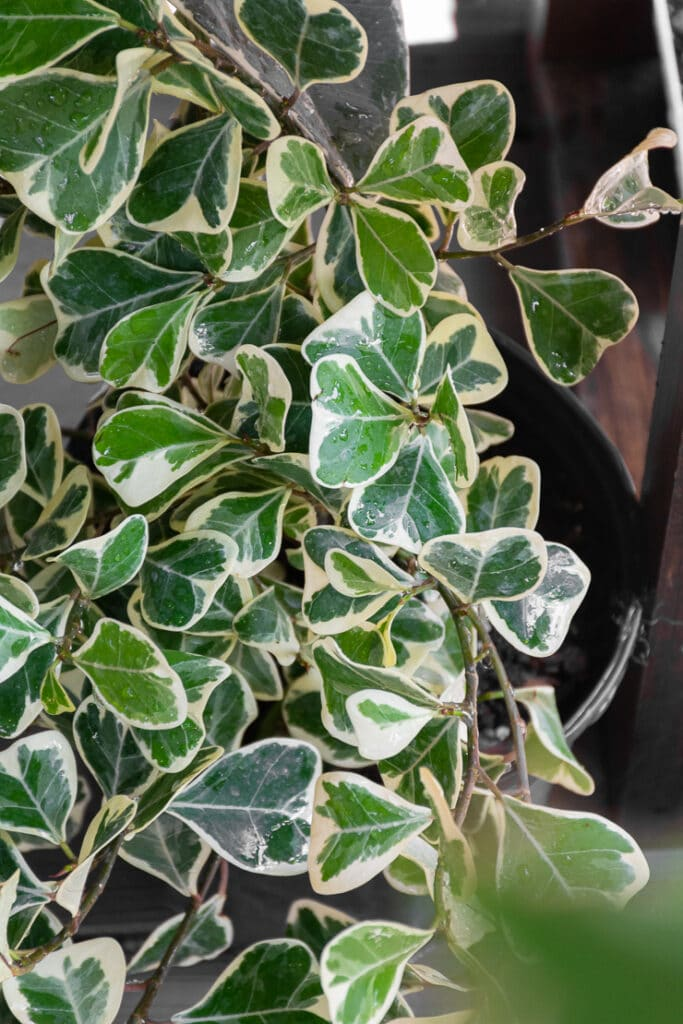 ficus triangularis variegata plant
