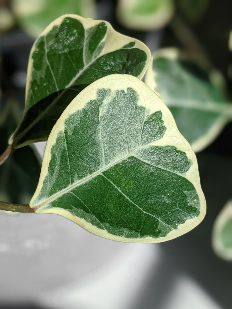 closeup of a ficus triangularis variegata leaf