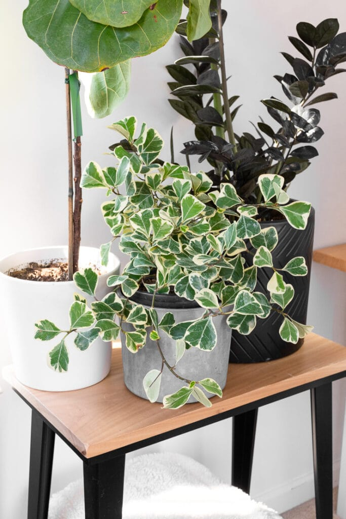 ficus triangularis variegata plant on a plant stand with a raven zz