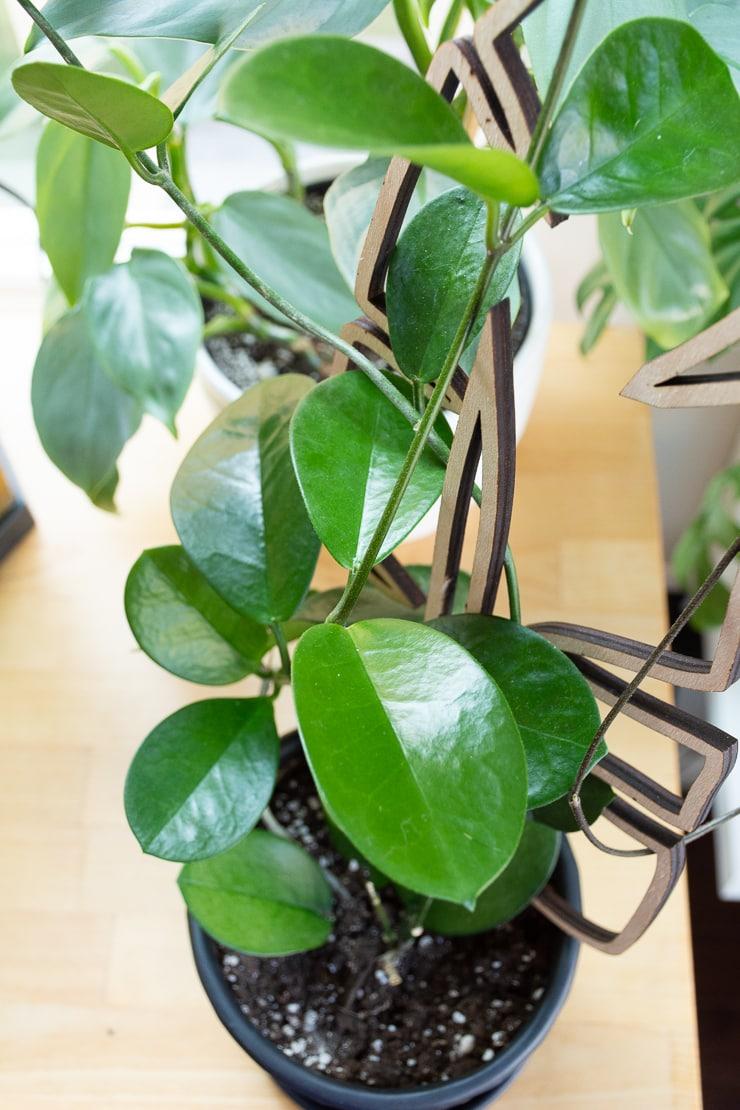 closeup of hoya leaves