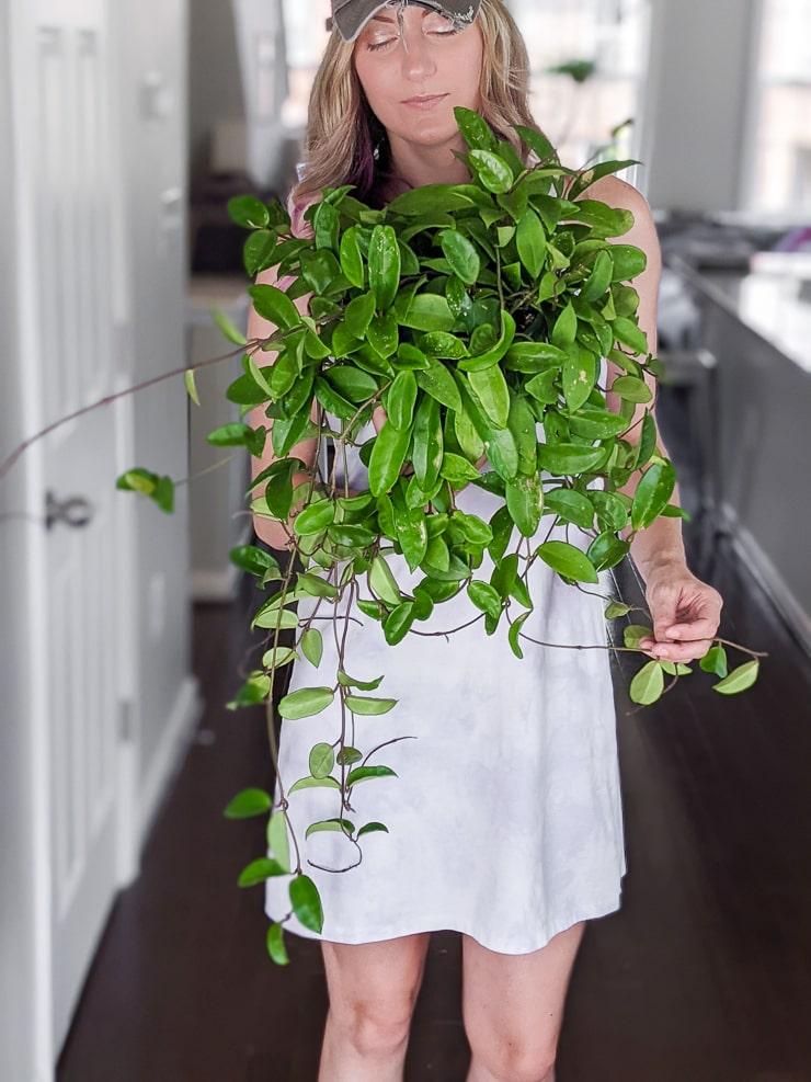 woman holding a large hoya carnosa jade plant
