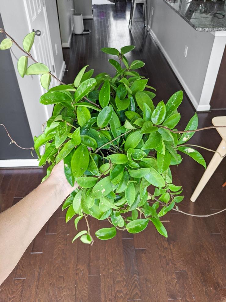 large hoya carnosa jade plant