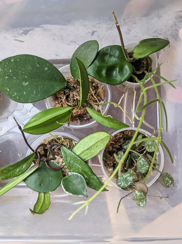 hoya cuttings rooting in sphagnum moss