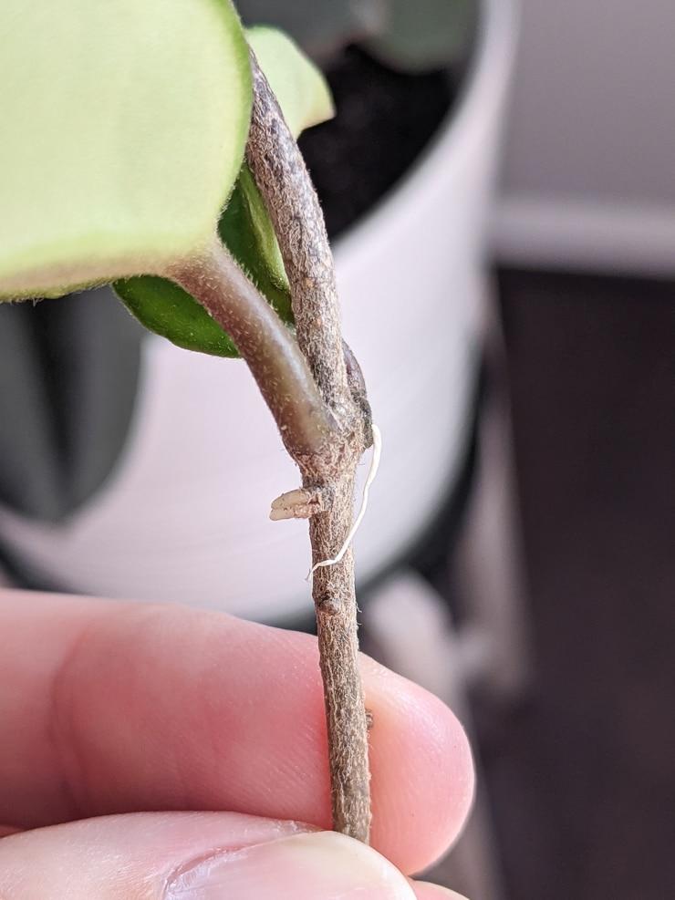 nodes and stem on a hoya carnosa