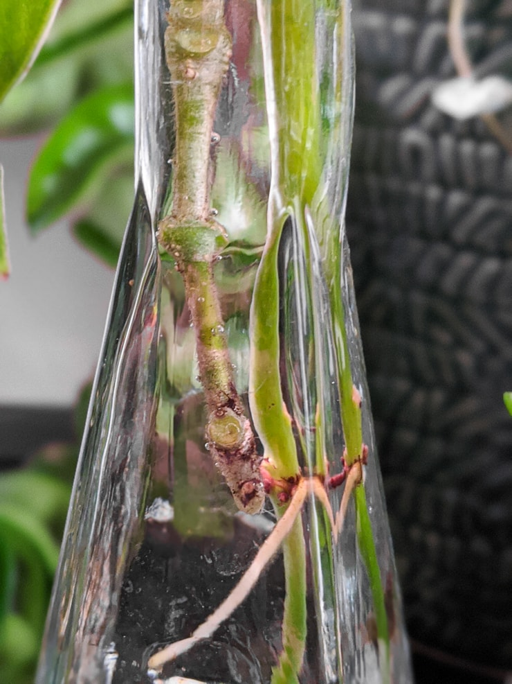 propagating a hoya carnosa compacta rope plant in water