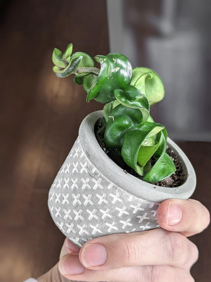 small hoya carnosa compacta rope plant