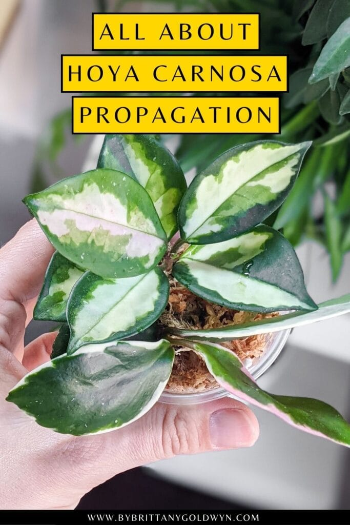 pinnable graphic about hoya carnosa propagation including an image and text overlay