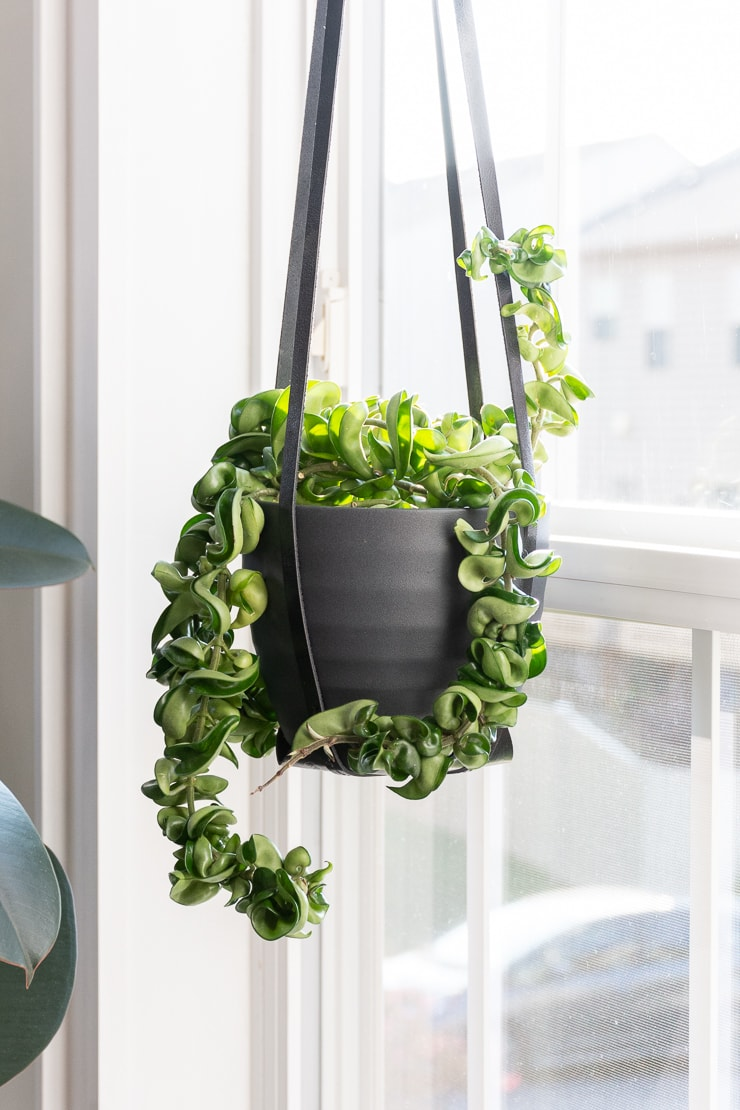 trailing hoya rope plant hanging in front of a window