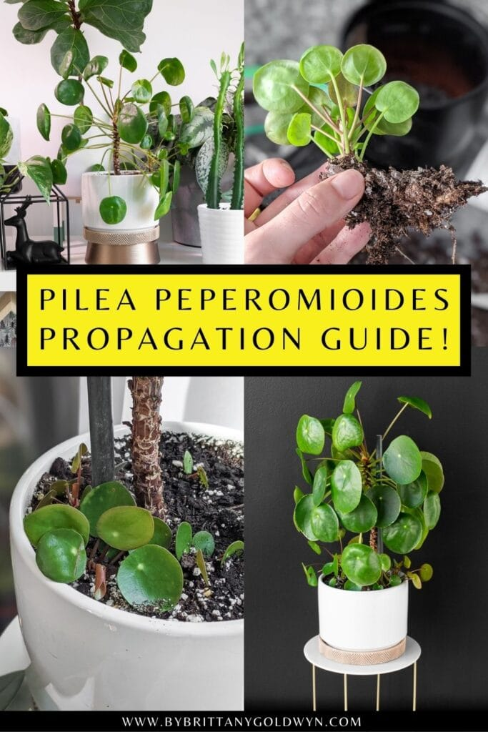pinnable graphic about pilea peperomioides propagation including text overlay and images